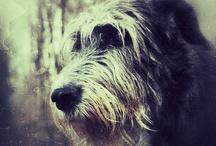 Irish Wolfhound....