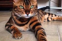Bengáli macska