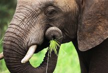 Exploring Wildlife / The African Elephant is the largest living terrestrial animal .The biggest can be up to 7.5m long, 3.3m high at the shoulder, and 6 tonnes in weight. Their large ears enable heat loss.