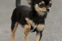 Chihuahua's❤️