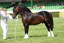 Welsh Cob Bridle / Reference pictures for an in-hand stallion bridle