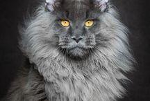 Maine coon a legszebb macska