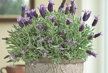 Lavender Love / by Kelley Day-Rath
