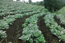 Cabbage Healthiest Vegetable In The World