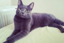 Mexi, my russian blue cat