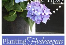 Hydrangea / Planting, tips, and more!