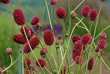 Sanguisorba / Sorbenkruid,pimpernel. Sterke vaste plant, zo'n half schaduw, vochtige doorlatende grond, vertraagd ook droogte hoogte tussen 30 en 200 cm