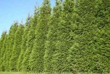 Privacy hedges/ Landscaping Ideas
