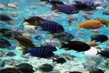 African Cichlids / Dr. Thomas R. Reich is a PhD Ichthyologist and is one of the world's most experienced experts in the field of fresh water aquarium fish. If you don't see the answer you need, send Dr. Reich a question and he will be happy to help!  http://aquariumfishadvisor.com/