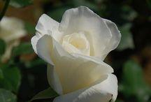 Rosas híbridas de té.