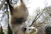 Opossum / Tasmani