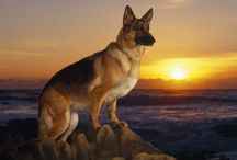 GSD / by Michelle Lundy