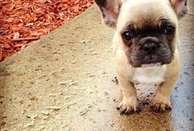 French Bulldogs  / Doggie / by Connie Mettler