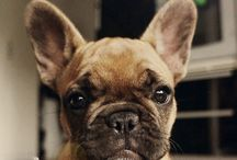 lover french bull dog