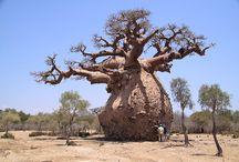 Arbres africains