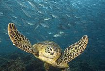 Animals - Sea Turtles