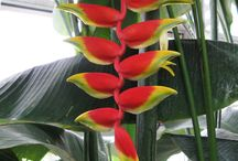 Pisang heliconia
