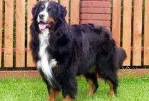 Bernese Mountain Dog <3