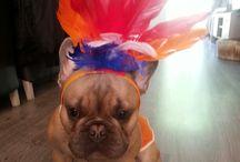 franse bulldog ♡