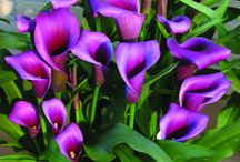 Flower Calla