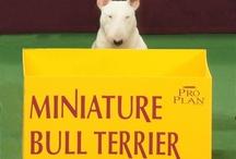 Bull and Mini Bull Terriers