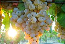 Bağ Bozumu   Wine Fields in Turkey / Bağ Bozumu   Wine Fields in Turkey   Eylül'ün ilk zamanları… Bağlardaki üzümler özenle, salkım salkım toplanmaya gidilir. Daha sonra potasyumlu bir çözelti içine daldırılıp güneşe bırakılırlar. Ve sadece birkaç gün sonra üzüm taneleri saplarından ayrılmıştır.