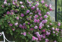 illatos rózsakert
