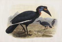 Monograph of the Buceronidae from Daniel Giraud Elliot
