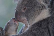 Koala's / Australië