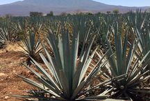 Tequila / Agave, Tequila Town, Paisaje Agavero