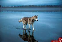 Vlk ...