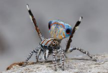 Australian Peacock Spiders / Several new species of peacock spider – just a few millimetres long and featuring extraordinary colours – have been discovered in Western Australia and South Australia. Jürgen Otto, a biologist from Sydney, has been researching the arachnids since 2005 believes there are now 48 confirmed species of peacock spider within the Maratus genus, found across Australia but particularly in Western Australia – and many more awaiting confirmation. | www.petnook.in #petnook