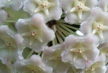 hoya (fiore di cera)