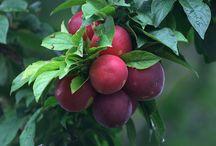 árvores de frutos em vaso