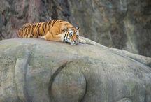 Buddha / Buddha tiger