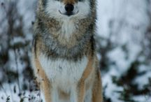 Wolves and Forest Animals (Photos)