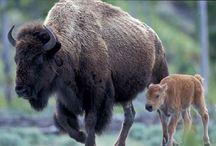 Buffalo pics