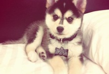 Pomsky <3 / Mix between a Pomeranian and a Husky. I would love one of these gorgeous dogs <3