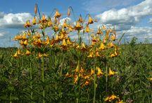 Lis du canada - Yellow Canada lily (Lilium canadense)