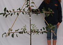 gyümölcs fák oszloposan
