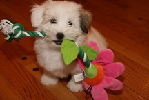 Coton Kisses & Cuddles (and Cats)  / My Coton de Tulear puppy, Sophie Coton. And her cats.
