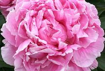 Mrs. Bloom's Direct Chilean Peonies