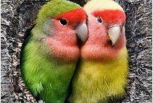 Papegøyer. / Papegøyefugler er en gruppe med moderne fugler som består av cirka 400 arter. Disse fordeles i tre familiegrupper; kakaduer, New Zealand-papegøyer, og parakitter. Papegøyefuglenes nærmeste slektninger er spurvefuglene. Wikipedia Vitenskapelig navn: Psittaciformes. Kullstørrelse: Hyasintara: 1 – 4 Høyere klassifisering: Psittacopasserae Levetid: Hyasintara: 50 år, Kakapo: 95 år Masse: Hyasintara: 1,2 – 1,7 kg, Dvergspettepapegøye: 12 g, Kakapo: 2 – 4 kg