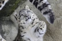 Snow leopard / Hey slow down I want your tail!