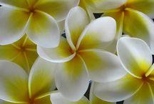 fiori di gelsomino / Fiori