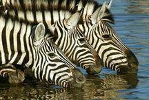 Zebras / by Debbie Beals