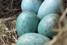 Kuş Yumurtası (Bird Eggs)