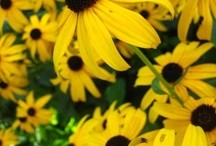 Flowers I love! / These are beautiful, God's handiwork, but my favorite is the lowly, wildflower, Black-eyed-Susan! / by Dee Samford