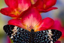 Pillangók,lepkék