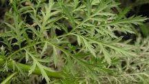 lečive bylinky a rady